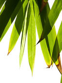 Bamboo foliage — Stock Photo