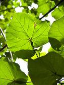 Portia tree foliage — Stock Photo