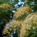 Buah Karang Hutan blossom — Stock Photo #10605653