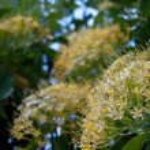 Buah Karang Hutan blossom — Stock Photo
