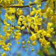 Golden shower flowers — Stock Photo #10665998