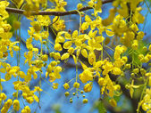 Golden shower flowers — Stock Photo