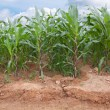Corn farm - Foto de Stock