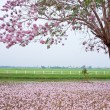 Pink trumpet tree - Stock Photo