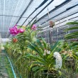 Orchid plant nursery - Stock Photo