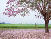 Pink trumpet tree — Stock Photo
