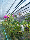 Orchid plant nursery — Stock Photo