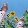 Reaching out to sunflowers — Stock Photo