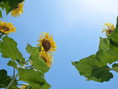 Natural frame of sunflowers — Stock Photo