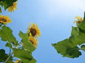 Ayçiçeği doğal çerçeve — Stok fotoğraf