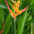 Heliconia — Stock Photo