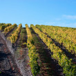 Beautiful Vineyard Landscape with a blue sky - Stock Photo