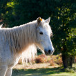 Royalty-Free Stock Photo: White  pony in  field