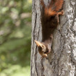 Stock Photo: Red Squirrel