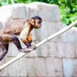 Macaque — Stockfoto #9304284