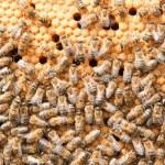Many bees on honeycombs — Stock Photo #9256288