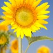 Amazing sunflowers and blue sky background — Stock Photo