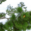 Spruce under white snow - Stock Photo