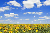 Field of sunflowers and blue sky background — Stock Photo
