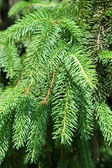 Branch of the green fir tree — Stock Photo