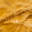 Golden wheat — Stock Photo #9429276