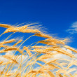 Golden wheat in blue sky background — Stock Photo #9429282