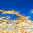 Stock Photo: Golden wheat in blue sky background