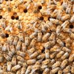 Many bees on honeycombs — Stock Photo #9429439