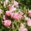 Roses bush — Stock Photo #9429475