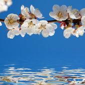 Apricot By Springtime — Stock Photo