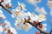 Branch flowering tree. Spring beauty — Stock Photo
