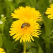 Stock Photo: Dandelion by springtime with bee