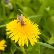 Dandelion by springtime and bee — Stock Photo