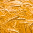 Golden wheat field — Stok fotoğraf