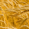 Golden wheat field — Stock fotografie #9758727