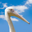 Royalty-Free Stock Photo: Pelican