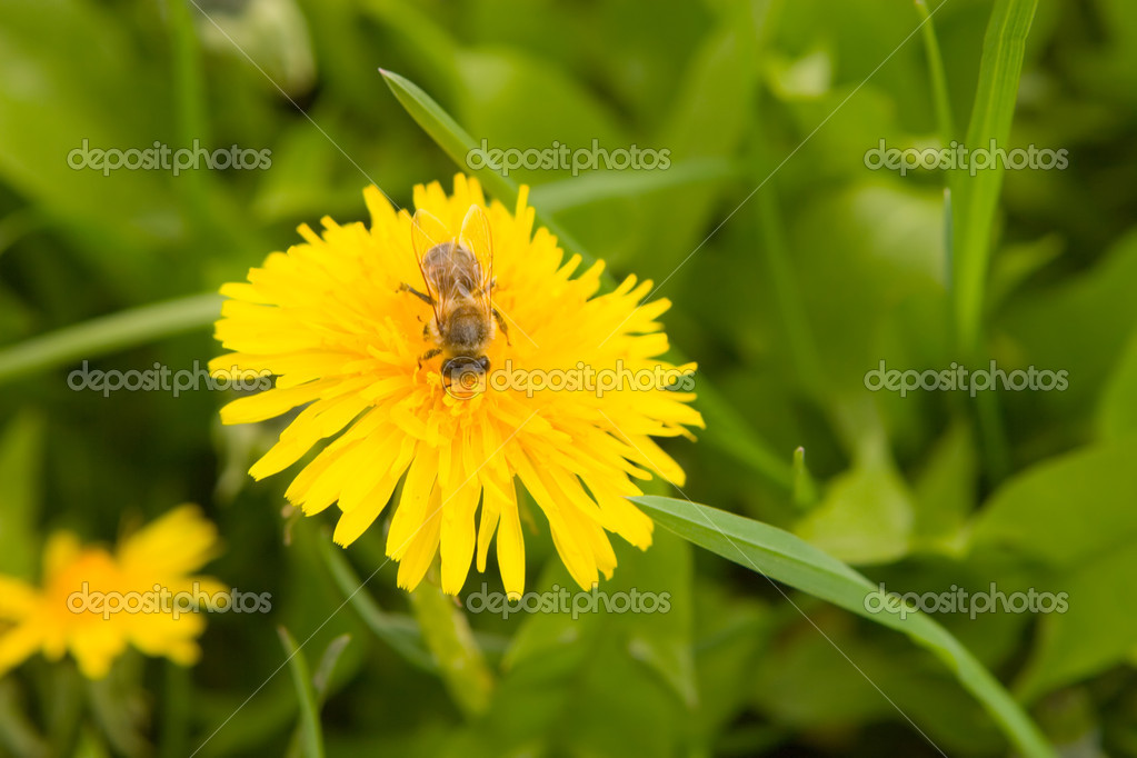 Dandelion by springtime and bee  Stock Photo #9758700
