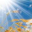 Golden wheat in the blue sunny sky background - Stock Photo
