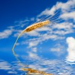 Golden wheat in the blue sky background — Stock Photo