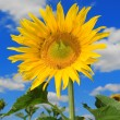 Sunflower and bee on the blue sky background — Stock Photo #9866550