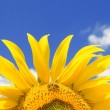 Amazing sunflower with bee and blue sky background — Stock Photo