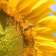 Sunflower and bee on the blue sky background — Stock Photo #9866565