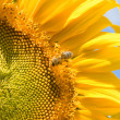 Sunflower and bee on the blue sky background — Stock Photo
