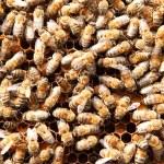 Many bees on honeycombs — Stock Photo