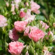 Roses bush — Stock Photo #9866802