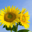 Amazing sunflowers — Stock Photo