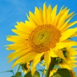 Sunflower in blue sky background — Stock Photo