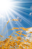 晴れた空の青い背景の小麦 — ストック写真