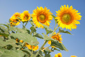 Amazing sunflowers and blue sky background — Stock Photo