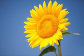 Mavi gökyüzü arka plan üzerinde şaşırtıcı ayçiçeği — Stok fotoğraf